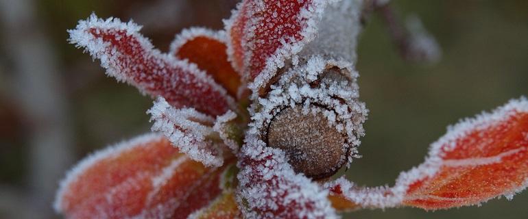 Frosty pruned tree